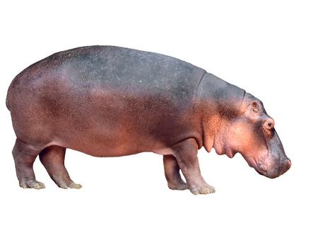 hippopotamus: hipop?tamo aisladas sobre fondo blanco