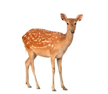 doe: sika deer isolated on white background