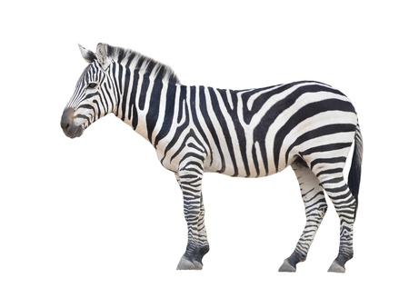 Zebra isoliert auf wei?em Hintergrund Standard-Bild - 19578187