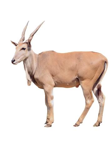 grazer: eland isolated on white background Stock Photo