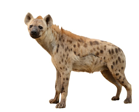 hyena: spotted hyena isolated on white background