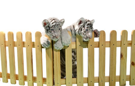tiger cub: white bengal tiger and wooden fence isolated on white background Stock Photo