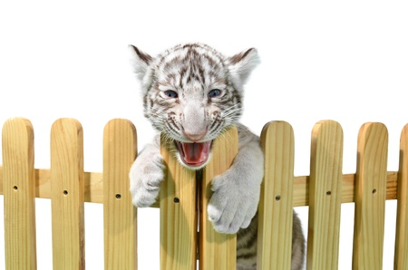 white bengal tiger and wooden fence isolated on white background photo