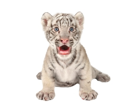 baby white bengal tiger isolated on white background Standard-Bild
