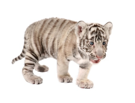 baby white bengal tiger isolated on white background photo