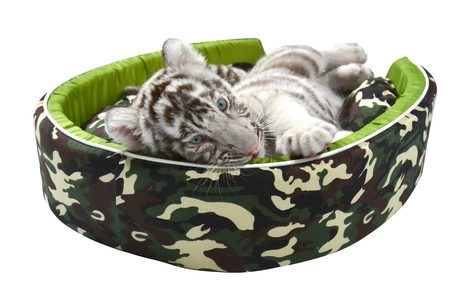 baby white tiger laying in a mattress isolated on white background photo