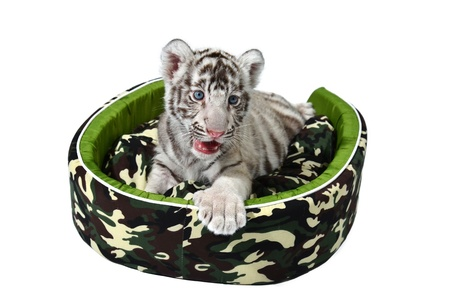 baby white tiger laying in a mattress isolated on white background Stock Photo