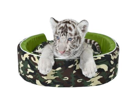 tigre blanc: bébé tigre blanc, portant dans un matelas isolé sur fond blanc