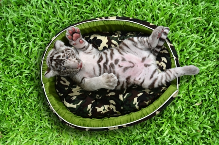 hassock: baby white tiger laying in a mattress on green grass Stock Photo