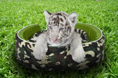 baby white tiger laying in a mattress on green grass photo