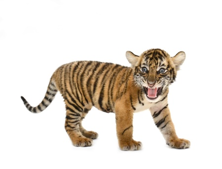 beb? tigre de Bengala aislado en fondo blanco