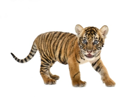 흰색 배경에 고립 된 아기 벵골 호랑이