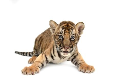 아기 벵골 호랑이 흰색 배경에 고립