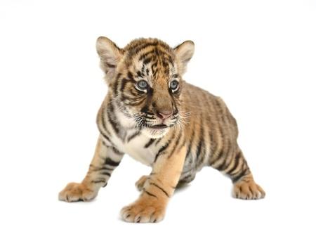 tigre cachorro: beb?igre de Bengala aislado en fondo blanco