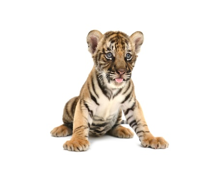 cub: baby bengal tiger isolated on white background