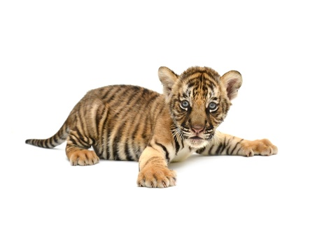 yellow tigers: baby bengal tiger isolated on white background