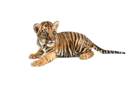 baby-Bengaalse tijger op een witte achtergrond