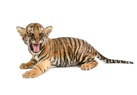 baby bengal tiger isolated on white background photo