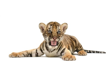 baby bengal tiger isolated on white background Stock Photo - 21080467