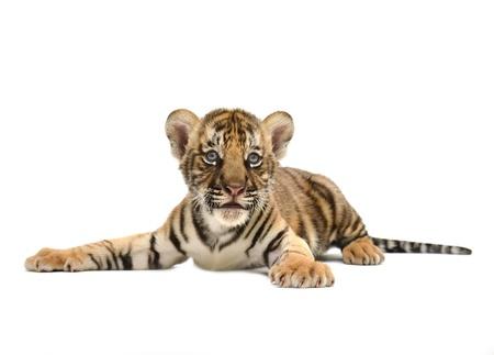 tigre blanc: b?b? tigre du Bengale, isol? sur fond blanc Banque d'images