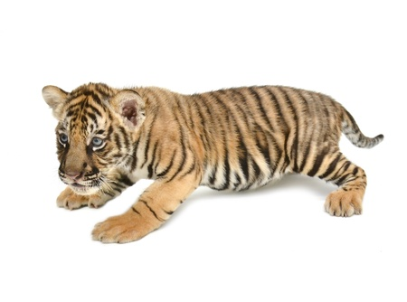 tiger cub: baby bengal tiger isolated on white background