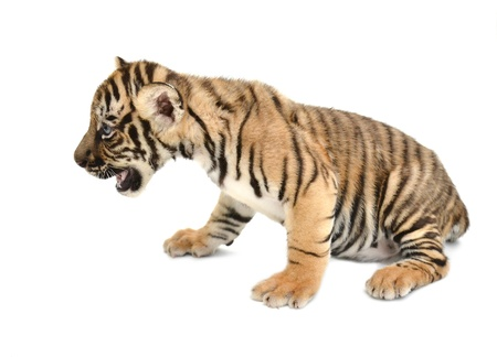 tigre cachorro: beb? tigre de Bengala aislado en fondo blanco