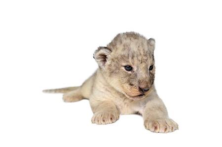 panthera leo: baby lion isolated on a white background Stock Photo