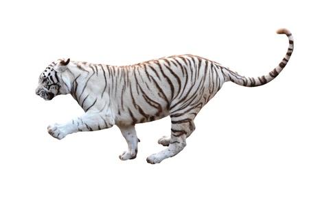 tigre blanc: tigre blanc du Bengale isolé sur fond blanc Banque d'images