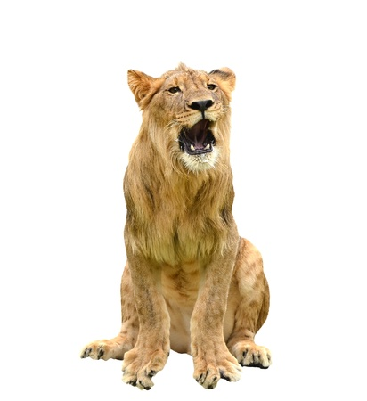 panthera leo: young lion isolated on white a background