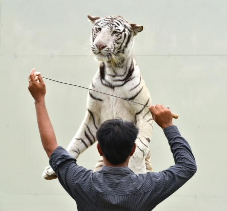 zookeeper training white bengal tiger to show photo