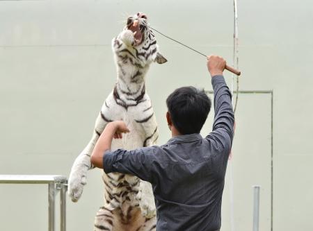 animal behavior: zookeeper training white bengal tiger to show Stock Photo