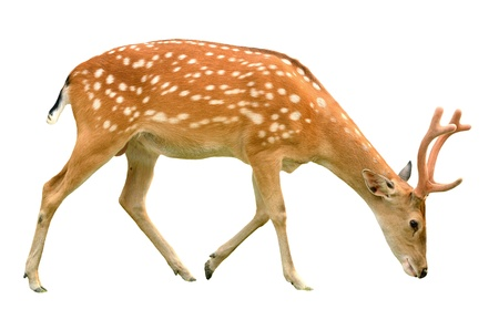 deer  spot: male sika deer isolated on white background