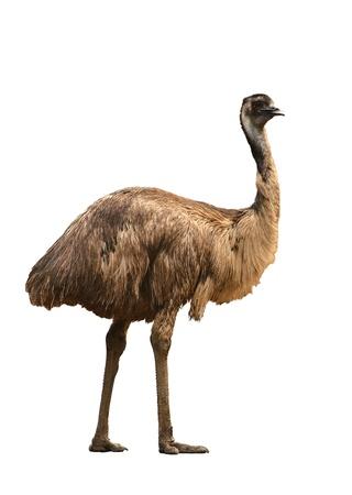 Ein australischer emu isoliert auf weißem Hintergrund Standard-Bild - 22019037
