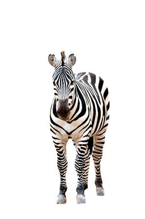 zebra face: zebra isolated on white background