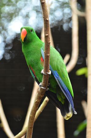 eclectus: Beautiful green eclectus parrot bird (Eclectus roratus)