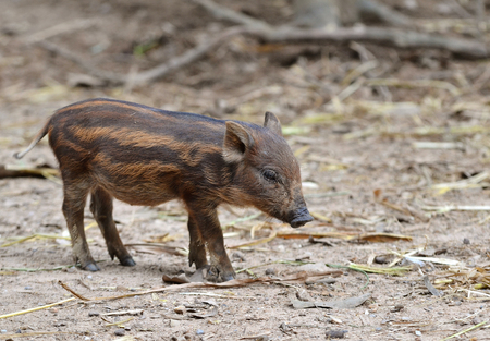 piglets: baby wild boar in nature