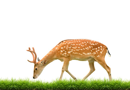 sika deer with green grass isolated on white background photo