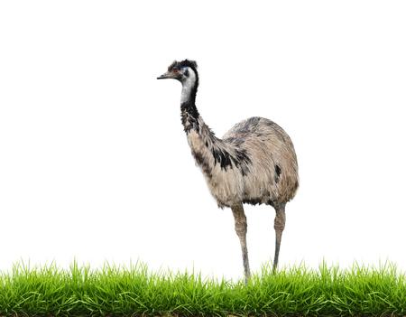 emu bird: emu with green grass isolated on white background