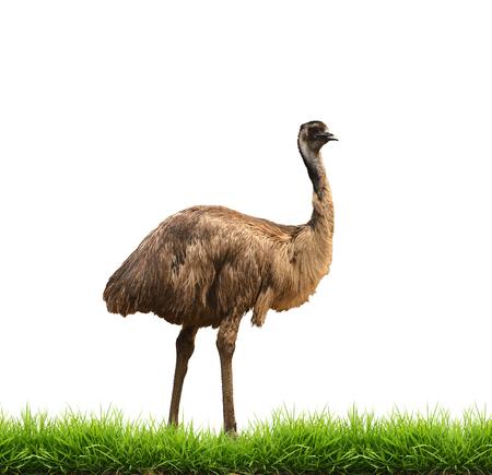 emu: emu con la hierba verde aislado en el fondo blanco