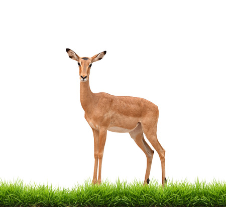 gazelle: impala with green grass isolated on white background Stock Photo