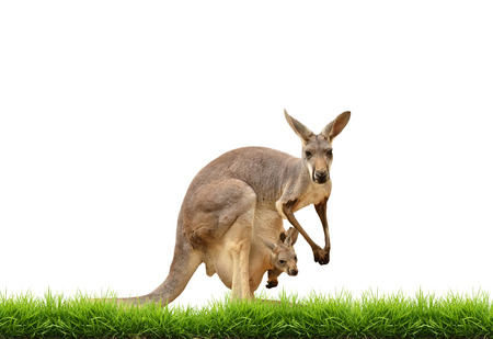red animal: kangaroo with green grass isolated on white background