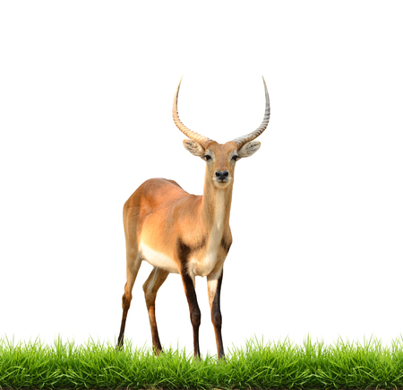 red lechwe with green grass isolated on white background photo