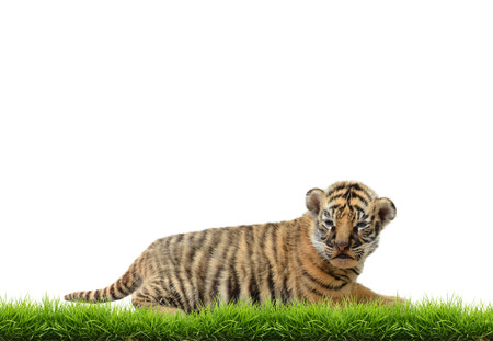 tiger cub: baby bangal tiger with green grass isolated on white background Stock Photo