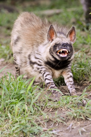 striped hyena, the african wildlife