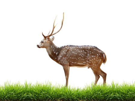 axis deer: maie axis deer with green grass isolated on white background