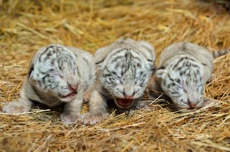 tiger cub: one week white bengal tiger cub