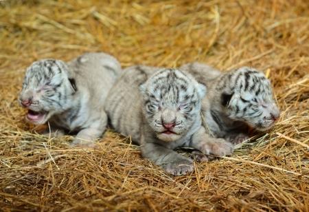 tigre cachorro: una semana tigre de Bengala blanco cub