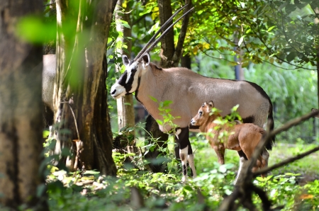 grazer: oryx with baby in nature Stock Photo