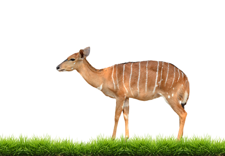 nyala with green grass isolated on white background photo