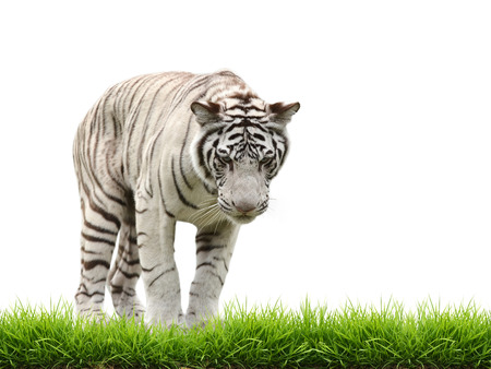 tiger isolated: white bangal tiger with green grass isolated on white background Stock Photo